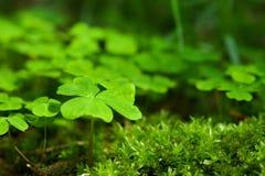 green koniczynę Zdjęcie Stock