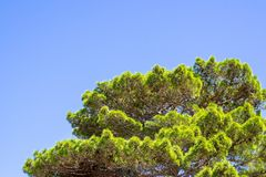 Green krone of a pine Royalty Free Stock Photo