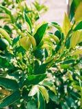 Green kumquat Fortunella, Kinkan on the tree. Fruit citrus tre Stock Photo