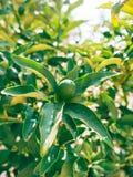 Green kumquat Fortunella, Kinkan on the tree. Fruit citrus tre Stock Photos