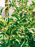 Green kumquat Fortunella, Kinkan on the tree. Fruit citrus tre Stock Images