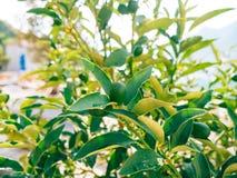 Green kumquat Fortunella, Kinkan on the tree. Fruit citrus tre Royalty Free Stock Photos