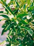 Green kumquat Fortunella, Kinkan on the tree. Fruit citrus tre Stock Image