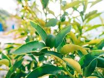 Green kumquat Fortunella, Kinkan on the tree. Fruit citrus tre Royalty Free Stock Photography