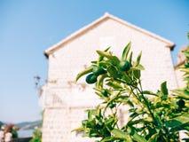 Green kumquat Fortunella, Kinkan on the tree. Fruit citrus tre Royalty Free Stock Image