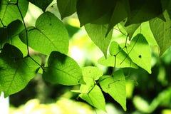Green låter vara bakgrund royaltyfri bild