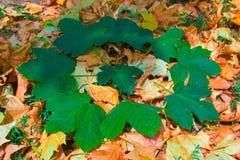 Green låter vara i en cirkel på de fallna leavesna Fotografering för Bildbyråer