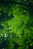green låter vara kupor Royaltyfri Fotografi