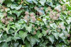 Green låter vara naturlig bakgrund Ivy Hedera spiral med frö fotografering för bildbyråer