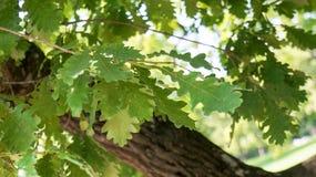 green låter vara oaken Royaltyfri Fotografi