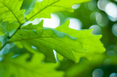 green låter vara oaken arkivfoton