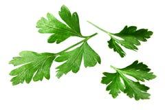 green låter vara parsley royaltyfria foton