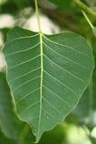 green låter vara treen Arkivbilder