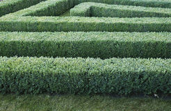 Green labyrinth of trimmed boxwood bushes Royalty Free Stock Photo