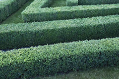 Green labyrinth of trimmed boxwood bushes Royalty Free Stock Image