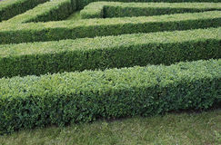 Green labyrinth of trimmed boxwood bushes Stock Images