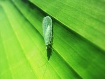 Green lacewing royalty free stock images