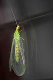 Green lacewing (Chrysoperla carnea) Royalty Free Stock Image