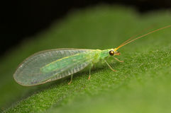 Green lacewing Stock Photography