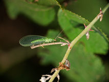 Green lacewing in habitat - Chrysopa Royalty Free Stock Photos