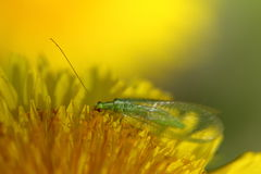 Green lacewings Stock Image