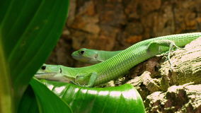 Green Lactide Lizards Gastropholis Prasina Couple. Gastropholis is a genus of Equatorial African lacertid lizards of the family Lacertidae. Not much is known but stock video footage
