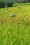Green ladder rice field Stock Image