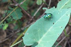 Green lady bug Royalty Free Stock Image