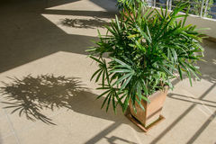 Green lady palm or Bamboo. With shadow on brown floor rough Rhapis exclesa, PLAMAE Stock Photography