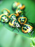 Green ladybug in the backyard. Big family of ladybug in the backyard Stock Photo