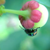 Green ladybug in the backyard. Green ladybug feed in the backyard Royalty Free Stock Photo