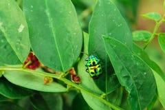 Green ladybug royalty free stock image
