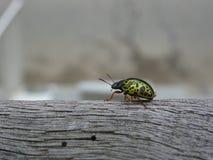 Actual Green Ladybug Stock Photography