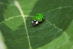 Green ladybug Stock Photos