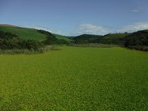 Green lagoon. A lagoon on the KZN South coast covered by a blanket of green water plants SA Stock Photography