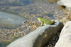 Green lake frog basking on a rock Royalty Free Stock Photography