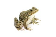 Green lake frog Royalty Free Stock Photos