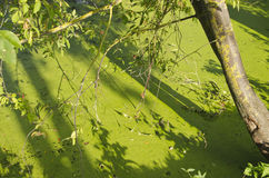Green lake pond water with duckweeds Royalty Free Stock Photography
