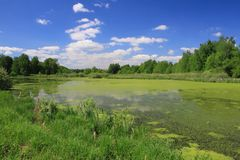 Green lake. Summer landscape with green forest lake royalty free stock photography
