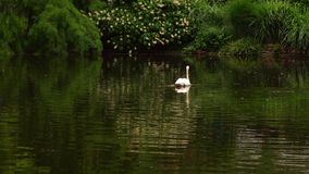 Green lake and swan. In nature video stock video footage