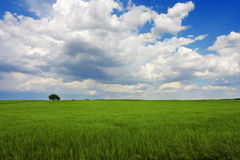 Green landscape. Spring landscape. Is a green field full of wheat plants. Is a sunny day with some white clouds in a blue sky. There was a strong wind. The wheat Royalty Free Stock Images