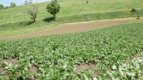 Green landscape crop scene of vegetable farm garden near natural hills stock video