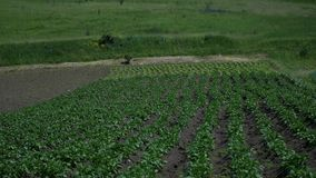 Green landscape crop scene of vegetable farm garden near natural hills.  stock video footage