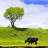 Green landscape with isolated cattle Royalty Free Stock Photos