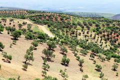 Green landscape with olive trees Royalty Free Stock Photography
