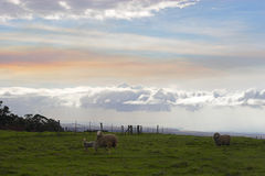 Green landscape and sheep Stock Photos