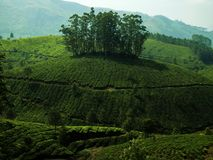 Green landscape tea plantation stock photography