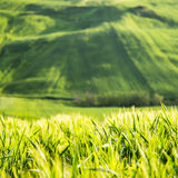 Green landscape. Green wheat landscape in campania in Italy Stock Photography