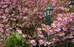 Green lantern among cherry blossom. Delicate pink flowers blossom of sakura tree Stock Photography