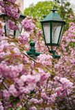 Green lantern among cherry blossom. Delicate pink flowers blossom of sakura tree Royalty Free Stock Images